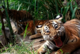 Two-months old Bengal tiger cub Tily reacts in its enclosure at the animal refuge La Fundacion Refugio Salvaje (Furesa) on the outskirts of San Salvador.